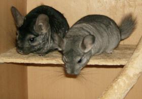 Foto 2 Chinchilla-Duo, Böckchen, abzugeben