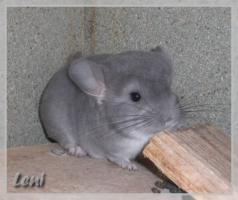 Foto 2 Chinchilla Weibchen