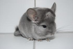 Foto 5 Chinchillas