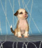 Foto 2 Chinese Crested Dog Welpen