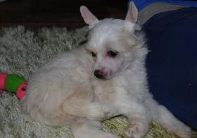 Foto 2 Chinese Crested Welpen