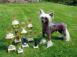 Foto 4 Chinese crested welpen super quality!