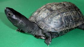 Chinesische Dreikielschildkröte, 2x M, 1x W