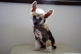 Chinesischer Schopfhund – Top Welpen zur Abnahme