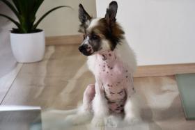 Foto 2 Chinesischer Schopfhund – Top Welpen zur Abnahme