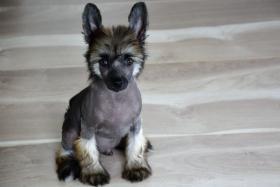Foto 3 Chinesischer Schopfhund – Top Welpen zur Abnahme