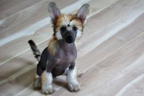 Foto 4 Chinesischer Schopfhund – Top Welpen zur Abnahme