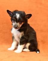 Foto 3 Chinesischer Schopfhund/Chinese crested dog