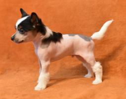 Foto 5 Chinesischer Schopfhund/Chinese crested dog