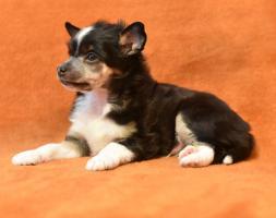 Foto 6 Chinesischer Schopfhund/Chinese crested dog