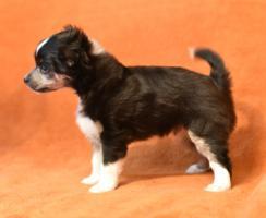 Foto 9 Chinesischer Schopfhund/Chinese crested dog