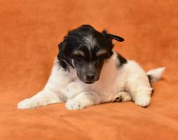 Foto 10 Chinesischer Schopfhund/Chinese crested dog