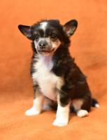Foto 12 Chinesischer Schopfhund/Chinese crested dog