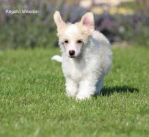Foto 2 Chinesischer Schopfhund/Chinese crested dog - powderpuff