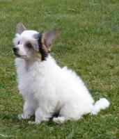 Chinesischer Schopfhund mit Papiere - behaarte Hündin Daphne