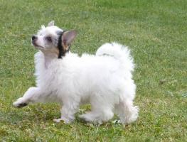Foto 3 Chinesischer Schopfhund mit Papiere - behaarte Hündin Daphne