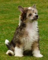 Chinesischer Schopfhund mit Papiere - behaarter Hund