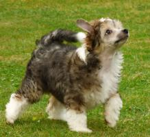 Foto 2 Chinesischer Schopfhund mit Papiere - behaarter Hund