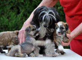 Chinesischer Schopfhund zum Verkauf