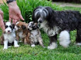 Foto 3 Chinesischer Schopfhund zum Verkauf