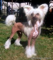 Foto 5 Chinesischer Schopfhund zum Verkauf