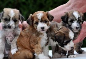 Foto 6 Chinesischer Schopfhund zum Verkauf