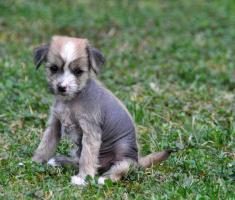 Foto 7 Chinesischer Schopfhund zum Verkauf