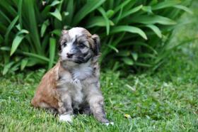 Foto 8 Chinesischer Schopfhund zum Verkauf