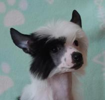 Chinesischer Schopfhund Welpe