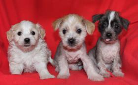 Foto 2 Chinesischer Schopfhund Welpen