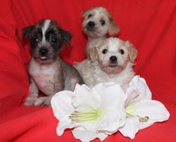 Foto 3 Chinesischer Schopfhund Welpen