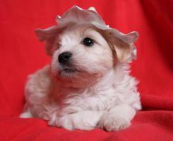 Foto 4 Chinesischer Schopfhund Welpen