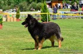 Foto 3 Chodenhund (Chodsky pes) mit Papiere
