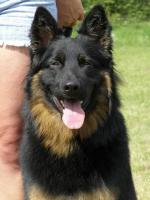 Chodsky pes (Chodenhund) mit Pap.