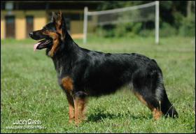 Foto 2 Chodsky pes (Chodenhund) mit Pap.