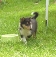 Foto 2 Collie Welpen, Familien-und Sporthunde