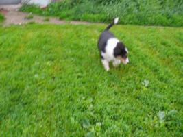 Foto 2 Collie welpen mit Stammbaum
