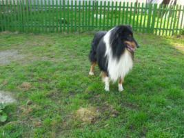Foto 6 Collie welpen mit Stammbaum