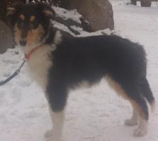 Foto 2 Colliejunghunde in darksable und tricolour