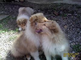 Foto 4 Colliewelpen