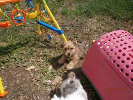 Foto 2 Color Yorkshire Terrier mit Stammbaum