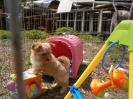 Foto 3 Color Yorkshire Terrier mit Stammbaum