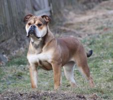 Foto 2 Continental Bulldog