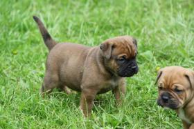 Foto 4 Continental Bulldogs vom Rhönkennel