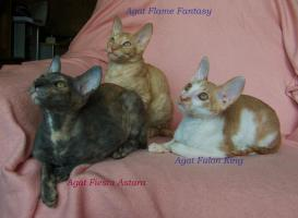 Foto 2 Cornish Rex