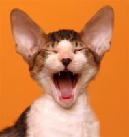 Foto 4 Cornish Rex - Kätzchen  mit Papiere