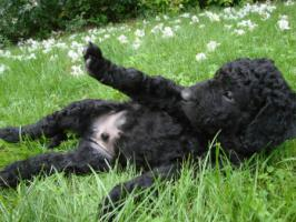 Foto 3 Curly coated retriever