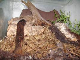 Foto 2 Cyclosternum fasciatum - Rote Tigervogelspinne incl. Terrarium 30 x 30 x 40 cm