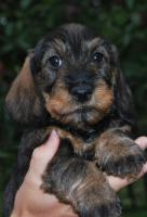 DACHSHUND WIREHAIRED STANDARD - Excellent puppies