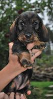 Foto 3 DACHSHUND WIREHAIRED STANDARD - Excellent puppies